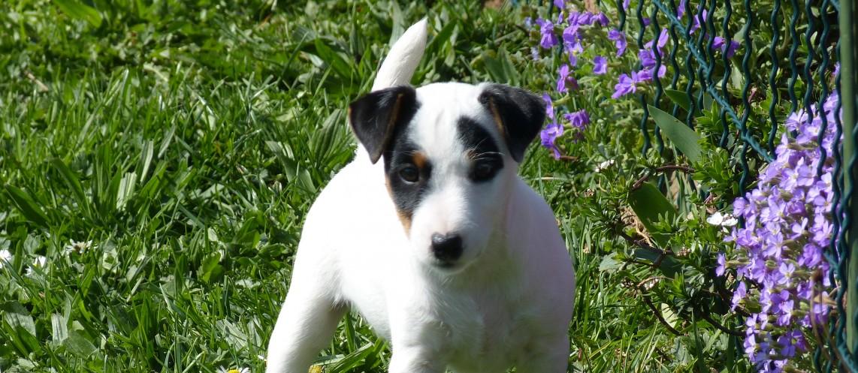 Parson Russell Terrier Club Deutschland e. V.